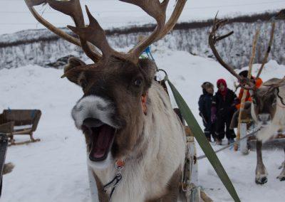 reindeer_sledding_alta_1
